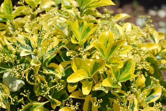Yellow Shrub